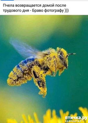 фото: Рабочая пчела