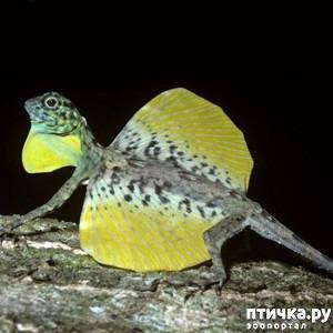 фото 4: Ящерица Летучий дракон