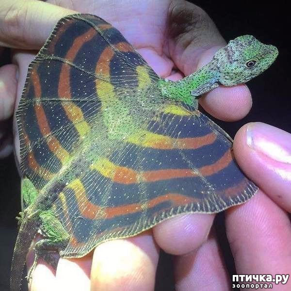 фото 6: Ящерица Летучий дракон