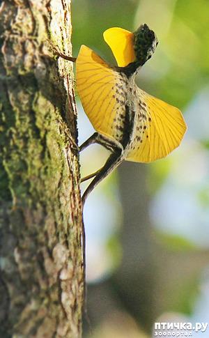 фото: Ящерица Летучий дракон