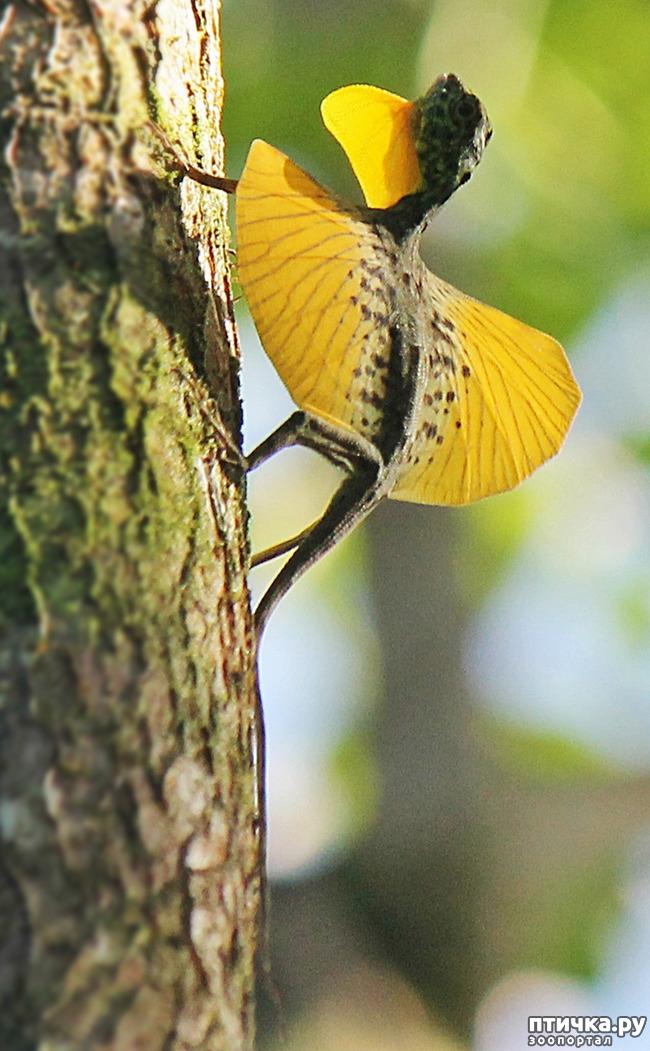 фото 1: Ящерица Летучий дракон