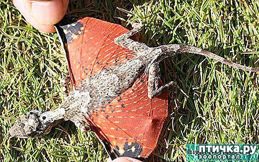 фото 7: Ящерица Летучий дракон