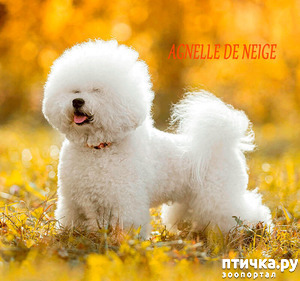 """фото: Питомник собак породы Бишон фризе """"Агнелль Де Неж"""" (Agnelle De Neige)."""