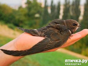 фото: Стрижепад ( как помочь птичкам)