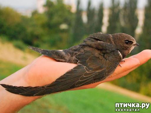 фото 1: Стрижепад ( как помочь птичкам)