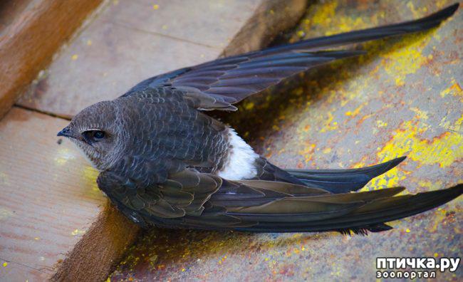 фото 2: Стрижепад ( как помочь птичкам)