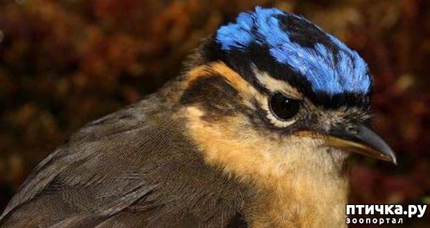 фото 3: Осторожно, ядовитые птицы!