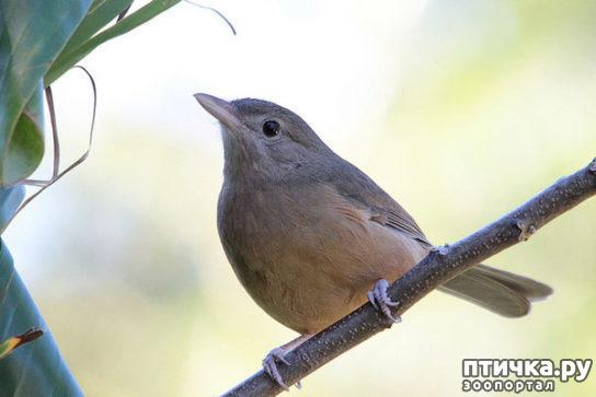фото 4: Осторожно, ядовитые птицы!