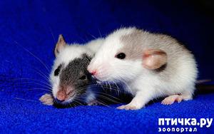 фото: Породы крыс.