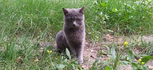 фото: Серая кошка