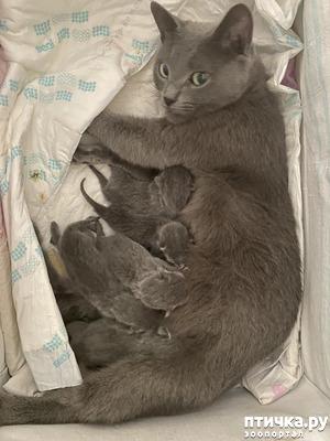 фото: Котята русской голубой европейский тип с рождения