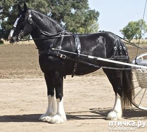 фото: Шайр - рекордсмен среди лошадей-великанов.