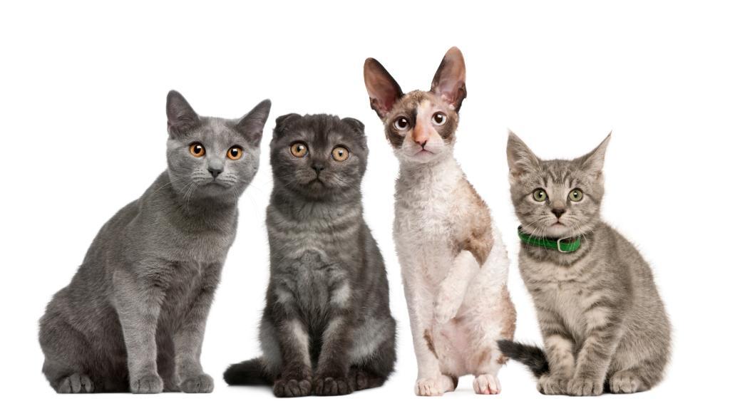 Какую породу кошек завести