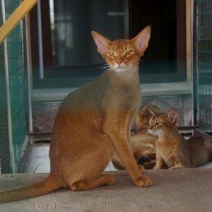 Абиссинская кошка - фото