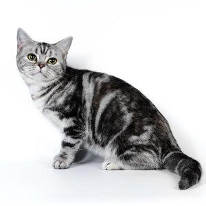 Американская короткошерстная кошка - фото