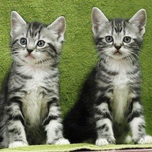 Американская короткошерстная кошка - котенок