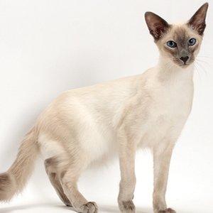 Балинезийская кошка - фото