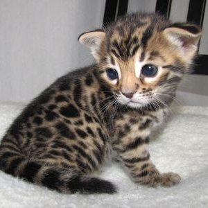 Бенгальская кошка - котенок