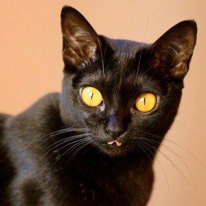 Бомбейская кошка - фото