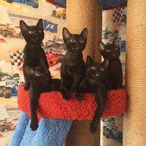 Бомбейская кошка - котенок
