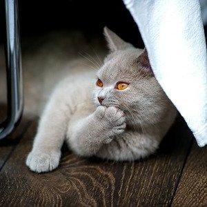 Британская короткошерстная кошка - фото