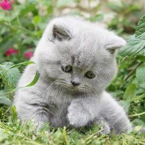 Британская короткошерстная кошка - котенок