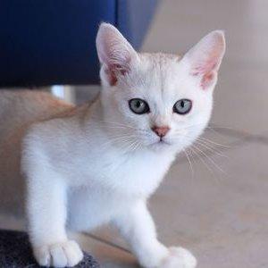Бурмилла - котенок