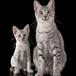Египетская мау - котенок