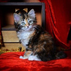 Карельский бобтейл - котенок
