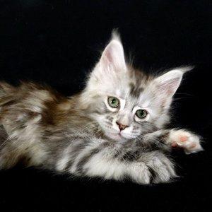 Мейн-кун - котенок
