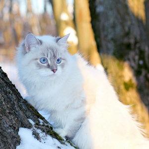 Невская маскарадная кошка - фото