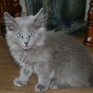 Нибелунг - котенок