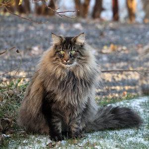 Норвежская лесная кошка - фото