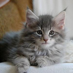 Норвежская лесная кошка - котенок