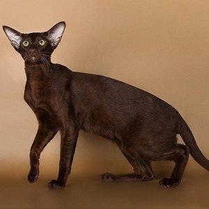 Ориентальные кошки - фото