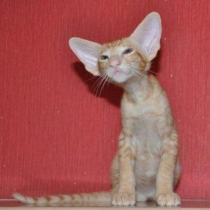 Ориентальные кошки - котенок