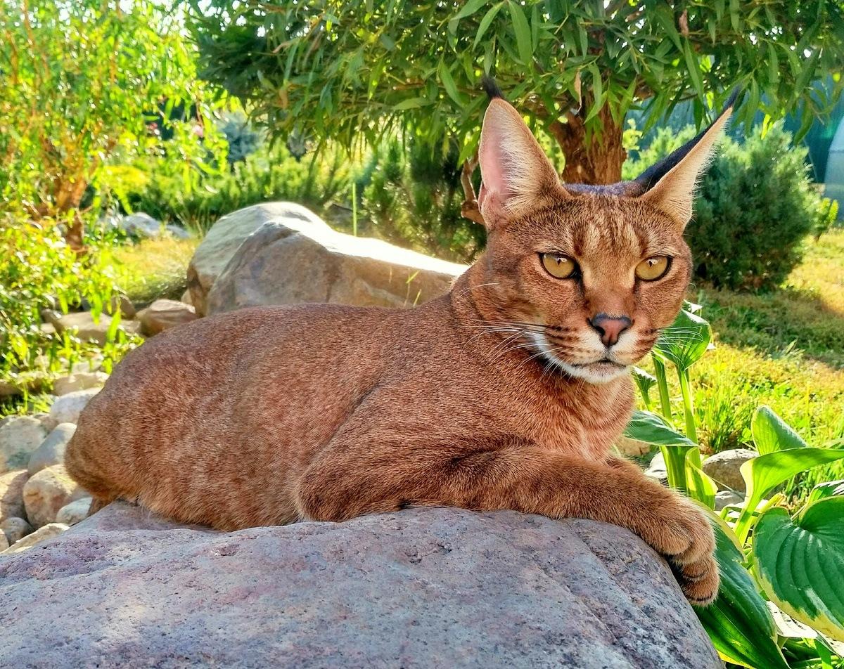 искусства, картинки кошки похожие на рысь другой