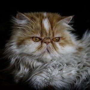 Персидская кошка - фото