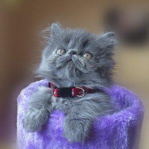 Персидская кошка - котенок