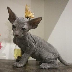 Петерболд - котенок