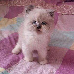 Регдолл - котенок