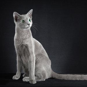 Русская голубая кошка - фото