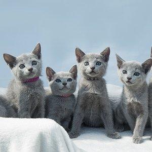 Русская голубая кошка - котенок