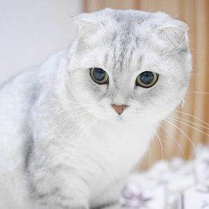 Шотландские кошки - фото