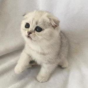 Шотландские кошки - котенок