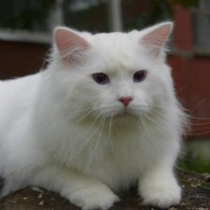 Сибирская кошка - фото