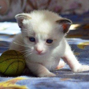 Сноу шу - котенок