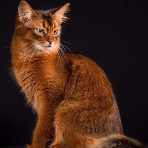Сомали (сомалийская кошка) - фото