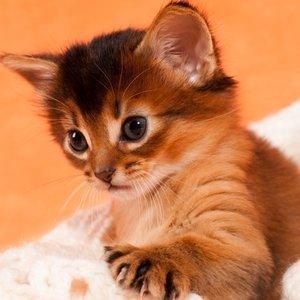 Сомали (сомалийская кошка) - котенок