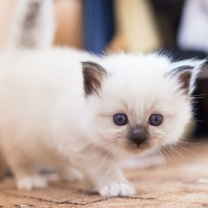 Священная бирма - котенок